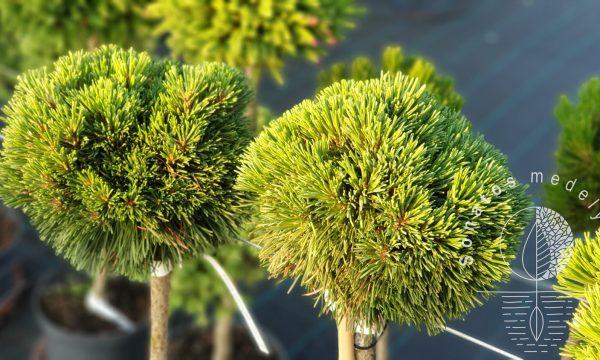 Pušis-Pinus-uncinata-Titus-Pa