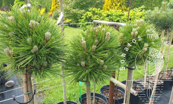 Pušis-baltazieve-Pinus-heldreichii-Pirin-3-Pa.