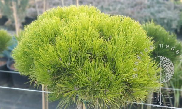 Pušis-juodoji-Pinus-nigra-Marie-Bregeon-ᴾᴮᴿ