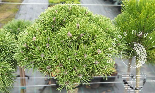Pušis-kalninė-Pinus-mugo-Hrobecek-Pa