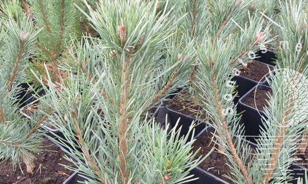 Pušis-paprastoji-Pinus-sylvestris-Watereri