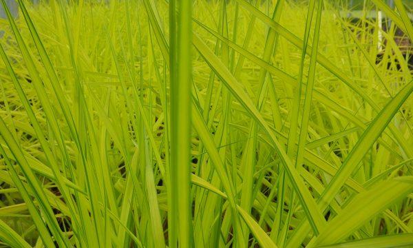 Viksva-Carex-elata-Aurea