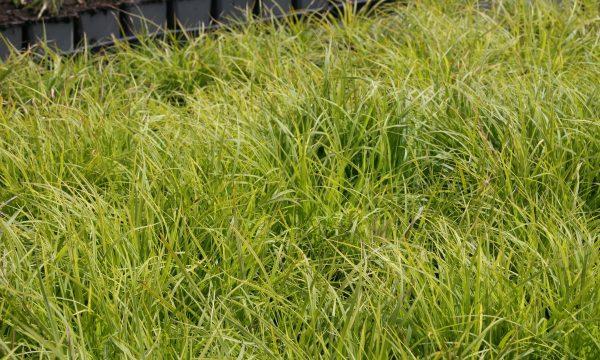 Viksva-Carex-montana-Raureif