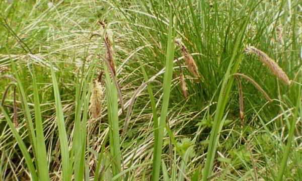 Viksva-Carex-pendula-Carex-pendula